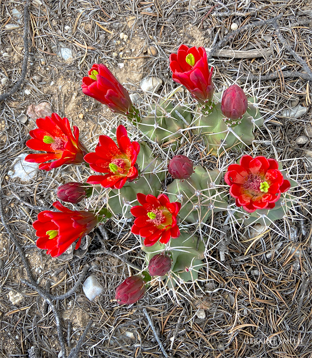 Claret Cup Cactus, Carson National Forest, NM