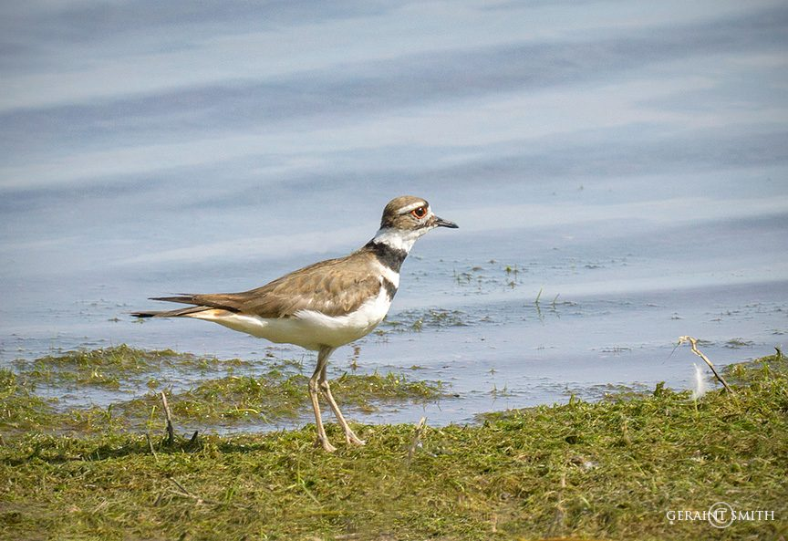 killdeer_san_luis_valley_lake_2769-6321726
