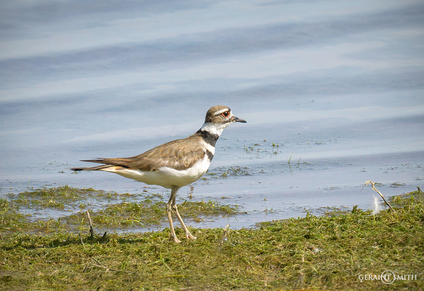 Killdeer, along a lake shore in the San Luis Valley, Colorado