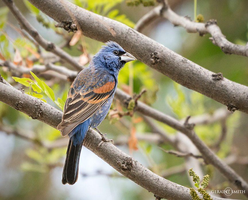 Blue Grosbeak, San Cristobal, NM.