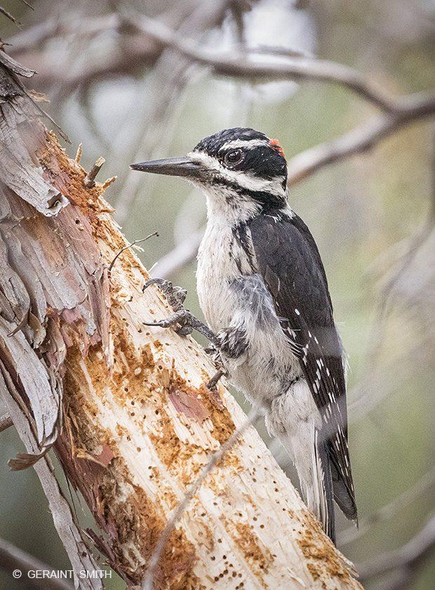 Hairy Woodpecker, San Cristobal, NM.