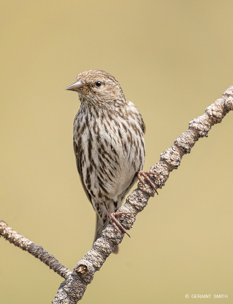 Pine Siskin at the Shuree Ponds in the Valle Vidal, NM.