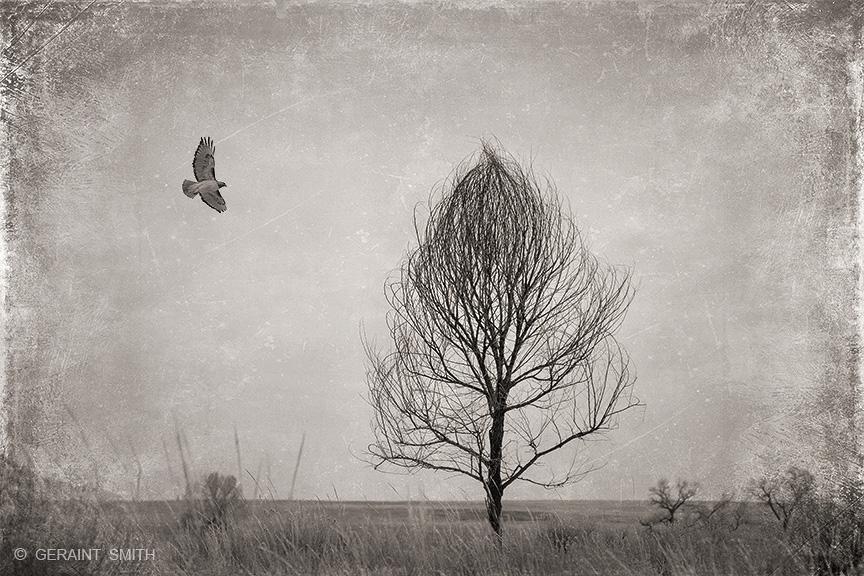 Hawk, Tree, Capulin, San Luis Valley, Colorado