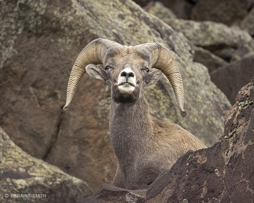 Bighorn sheep ram, Orilla Verde, Pilar, New Mexico