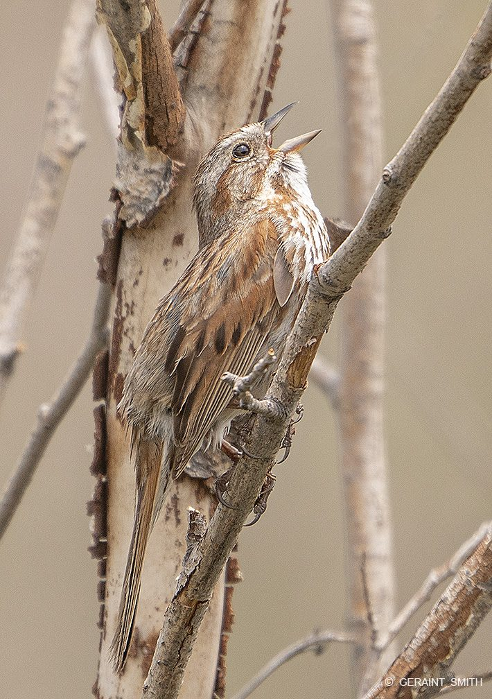song_sparrow_valle_vidal_new_mexico_6337-6660916