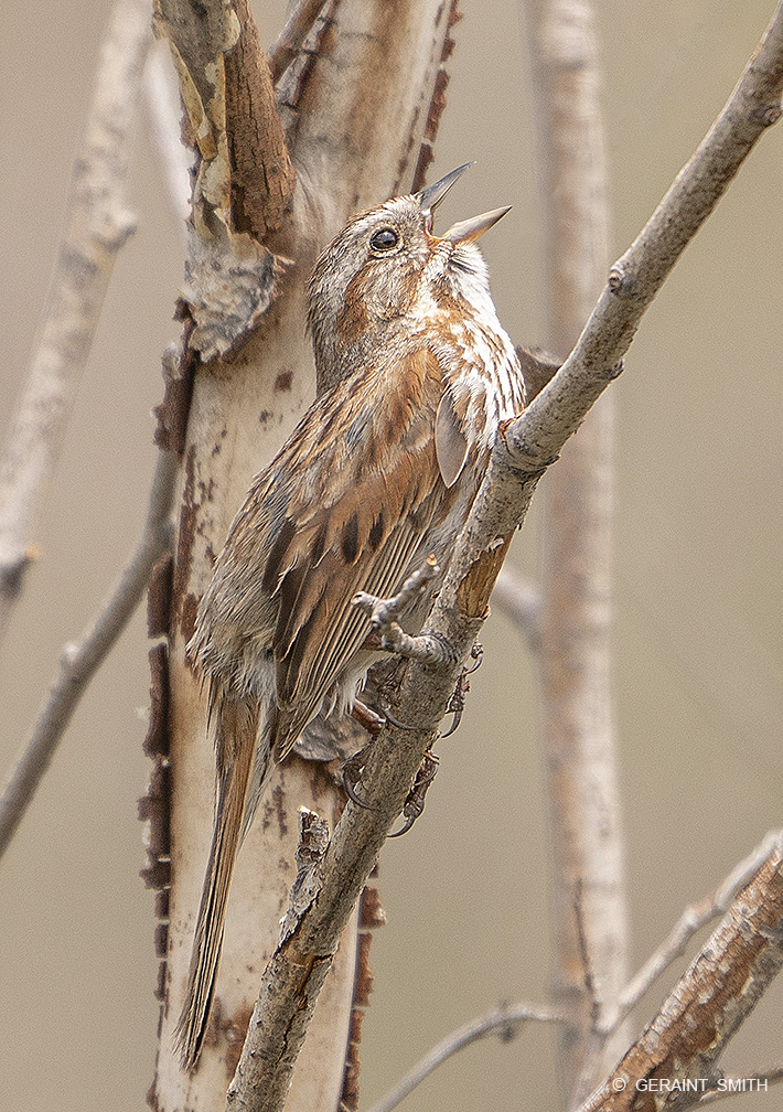Song Sparrow, Sangre De Cristo Mountains.