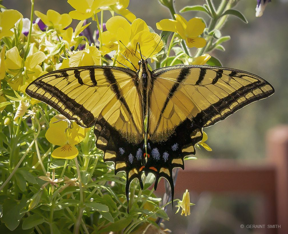 western_tiger_swallowtail_butterfly_6757-5680618