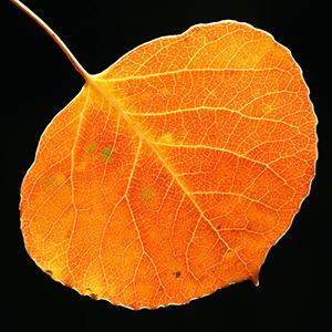 Nature aspen leaf 04