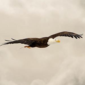 Wildlife bald eagle 3396
