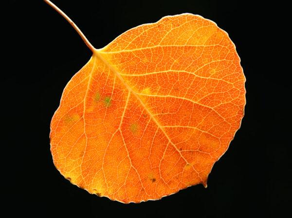 aspen leaf 04