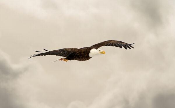bald eagle 3396