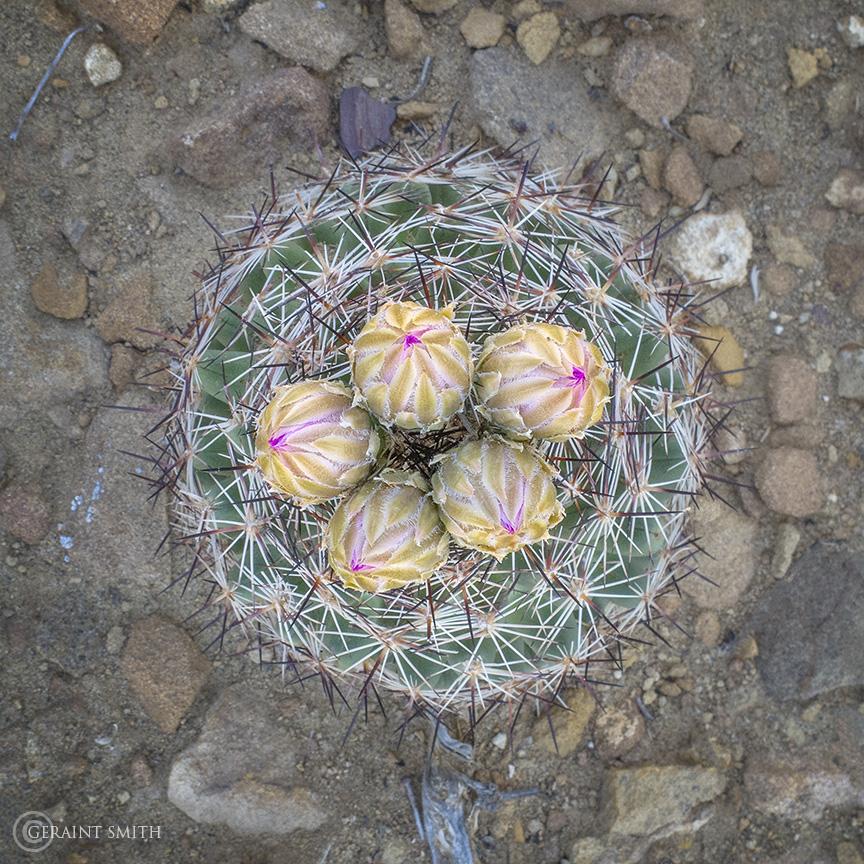 Cactus, Pueblo Alto Trail, Chaco Canyon