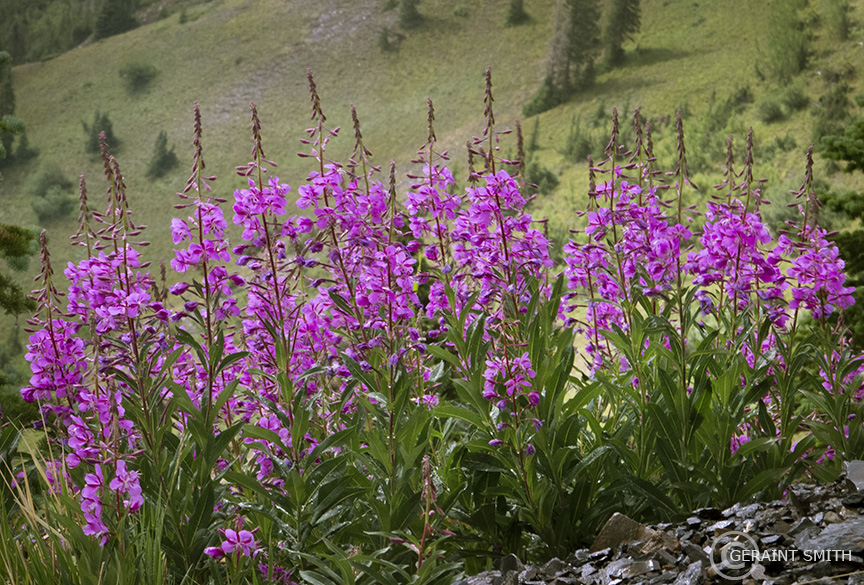 Fireweed plant in abundance on Paradise Divide, Colorado.