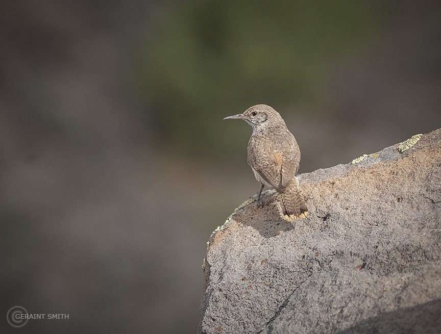 Rock Wren, Rocks, Rio Grande Del Norte National Monument, NM