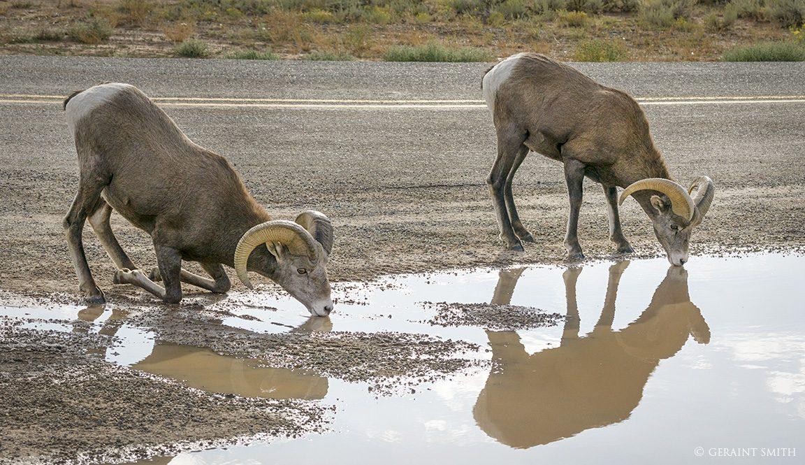 bighorn_sheep_drinking_west_rim_road_crop_7326_7327-5792451