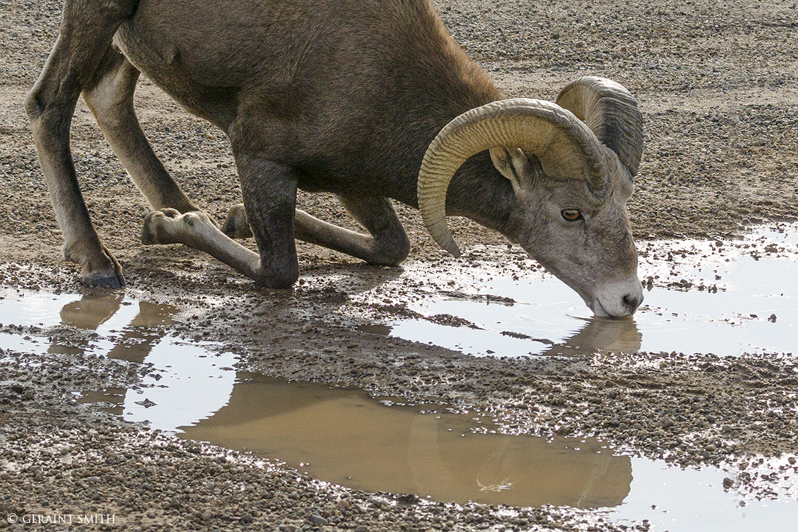Kneeling Bighorn Sheep Ram