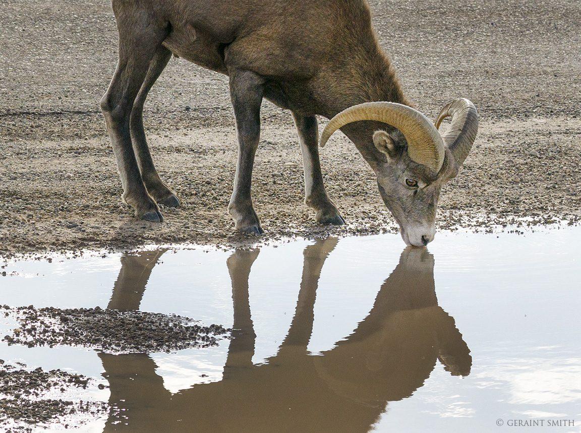 Bighorn Sheep Ram, drinking water