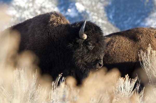buffalo 0143