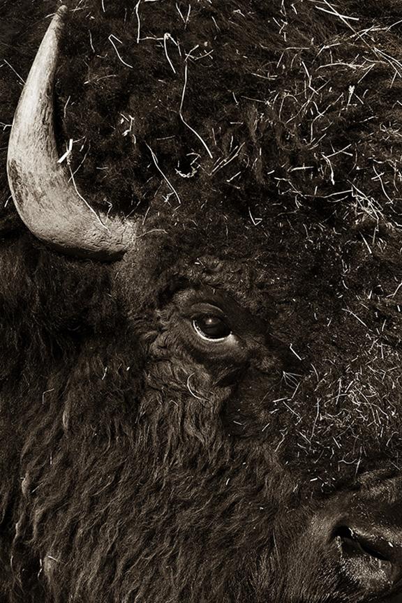 buffalo eye 6970