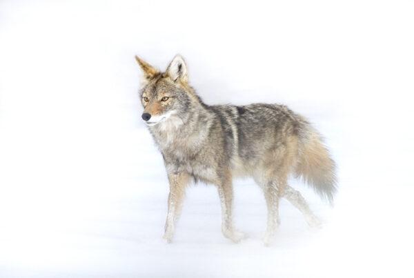 coyote 4007