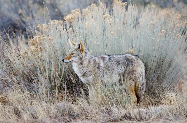 coyote 8266