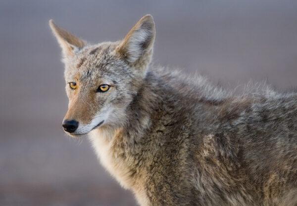 coyote eyes 9903
