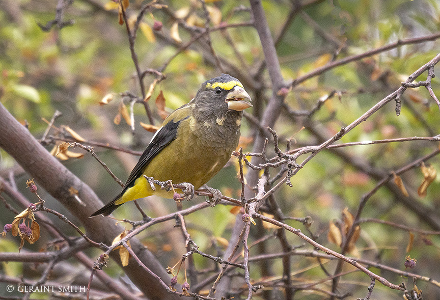 Evening Grosbeak, Crabapple Tree, San Cristobal, NM