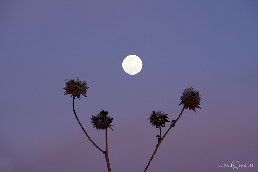 Sunflower pods, Moon rise, from the meadow.
