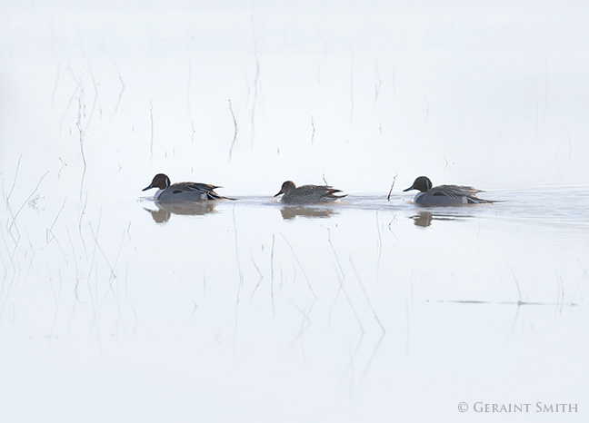 Northern pintail ducks in the Bosque del Apache, Socorro, NM