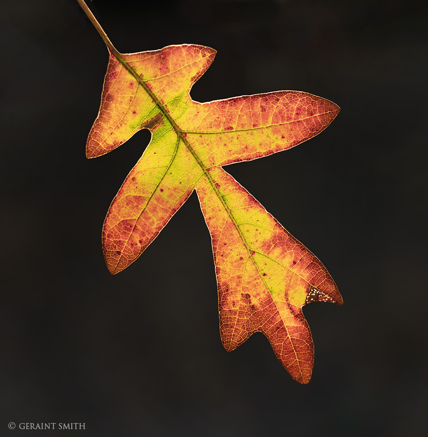 Oak Leaf, today on Lama Mountain, northern New Mexico.