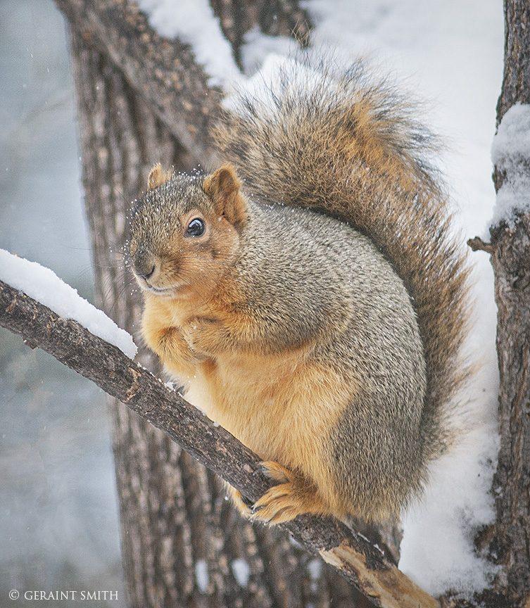 Red Squirrel, Back Garden, Boulder Colorado.
