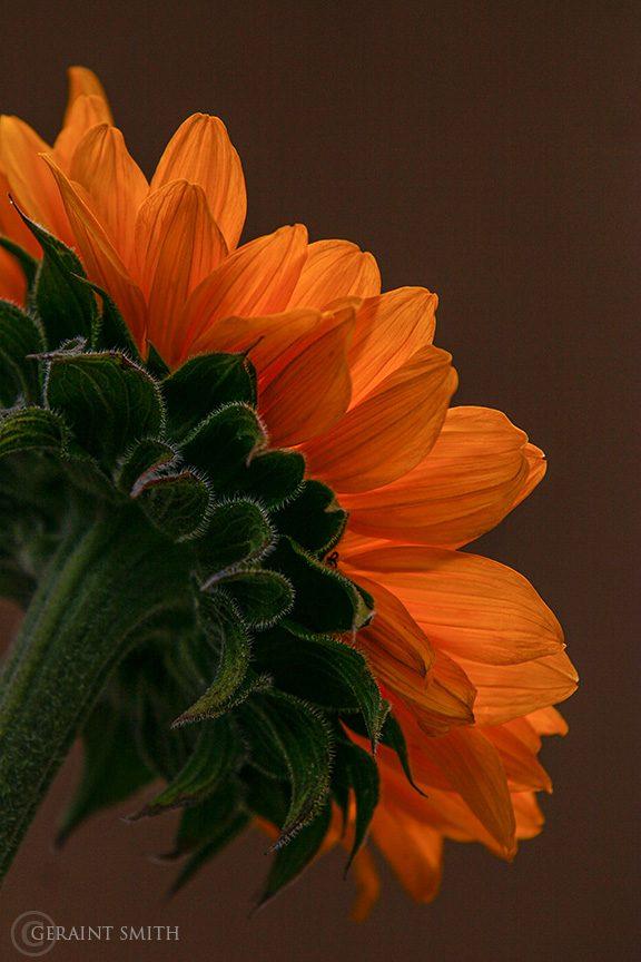 Sunflower, San Cristobal Valley, New Mexico