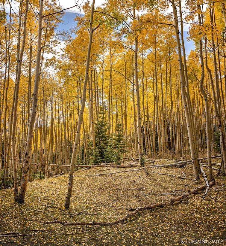 Aspen glade near Hopewell Lake, New Mexico.