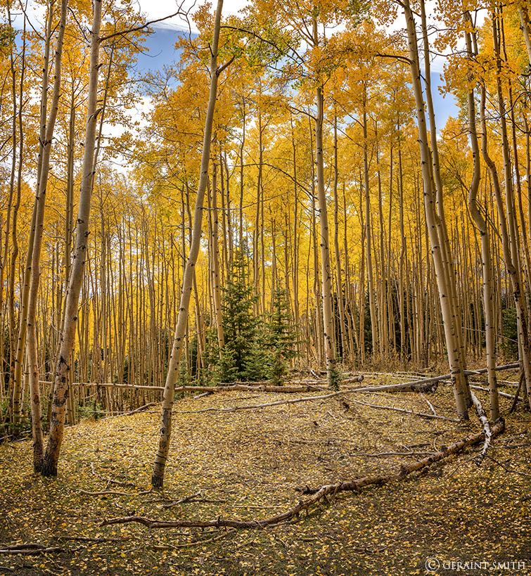 Aspen glade near Hopewell Lake, New Mexico.