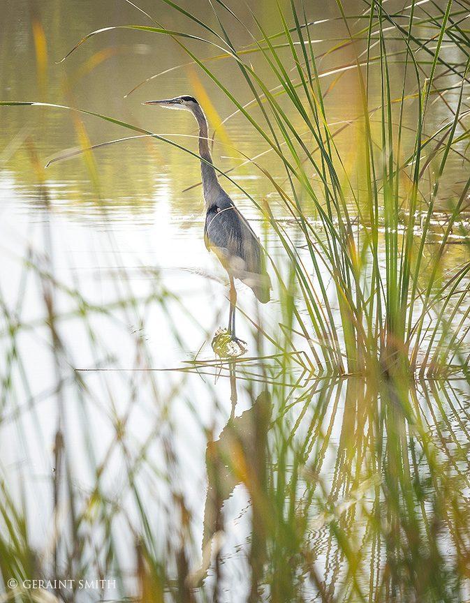 Great Blue Heron, Bosque Del Apache, NWR, NM