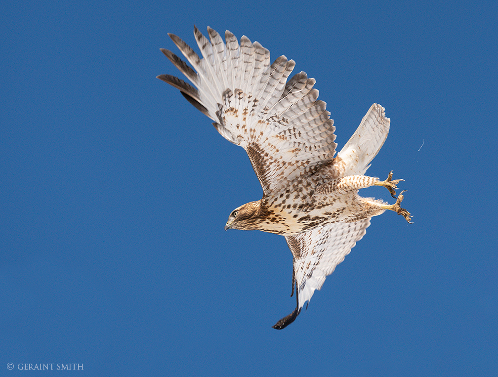 Red-tailed Hawk, Ranchos De Taos, New Mexico.