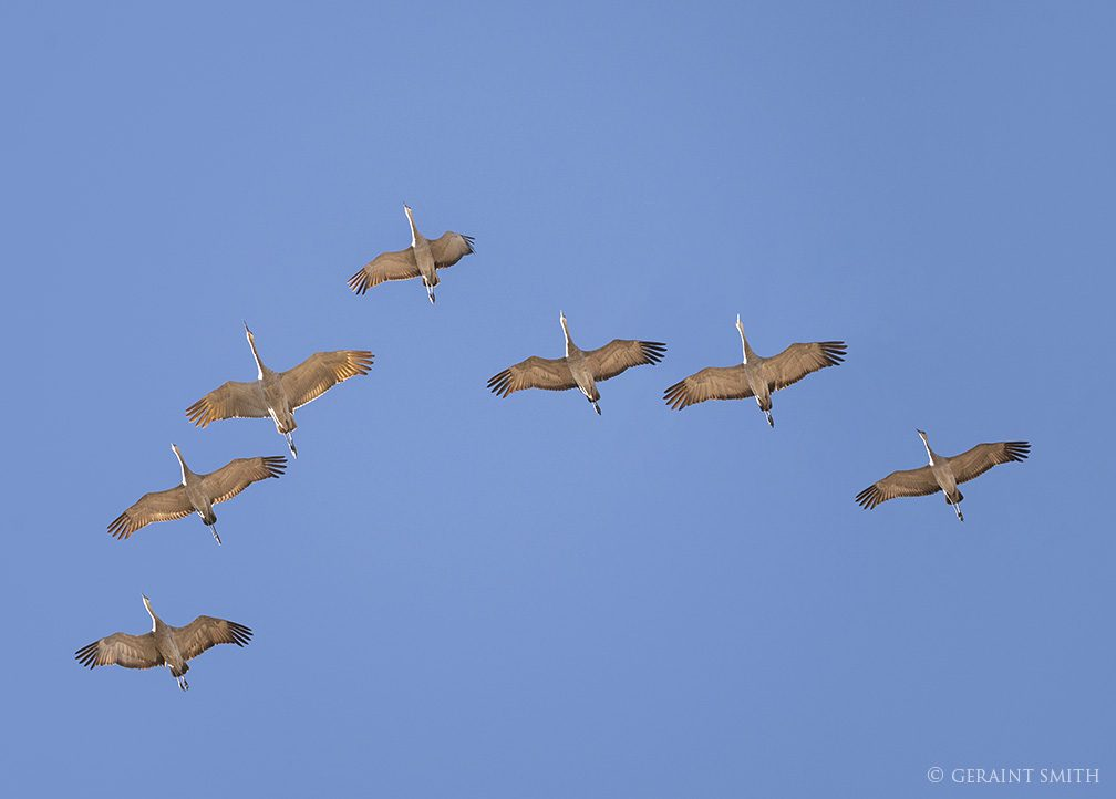 Sandhill Cranes, Formation Flying, Monte Vista NWR, Colorado