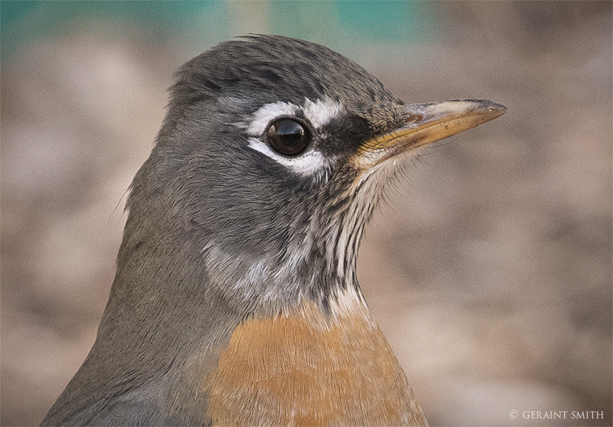 American Robin, Portrait, Not Mary Poppin's Robin