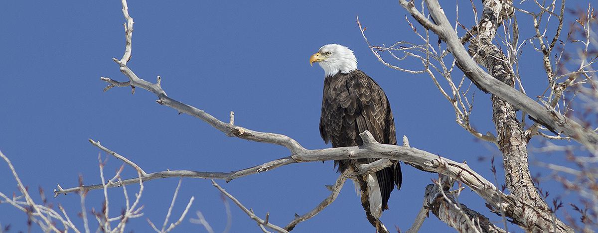 bald eagle 2894