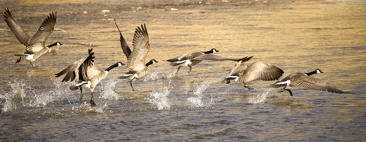 canada geese lift off 6721