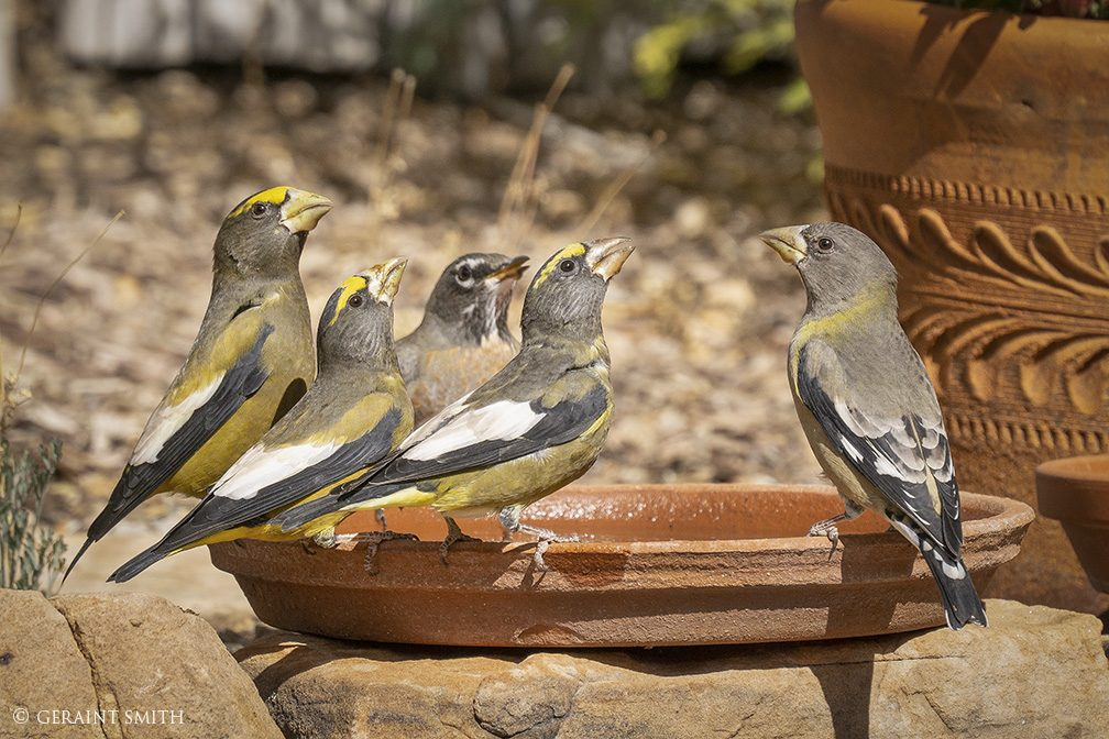 Evening Grosbeaks, In the Garden