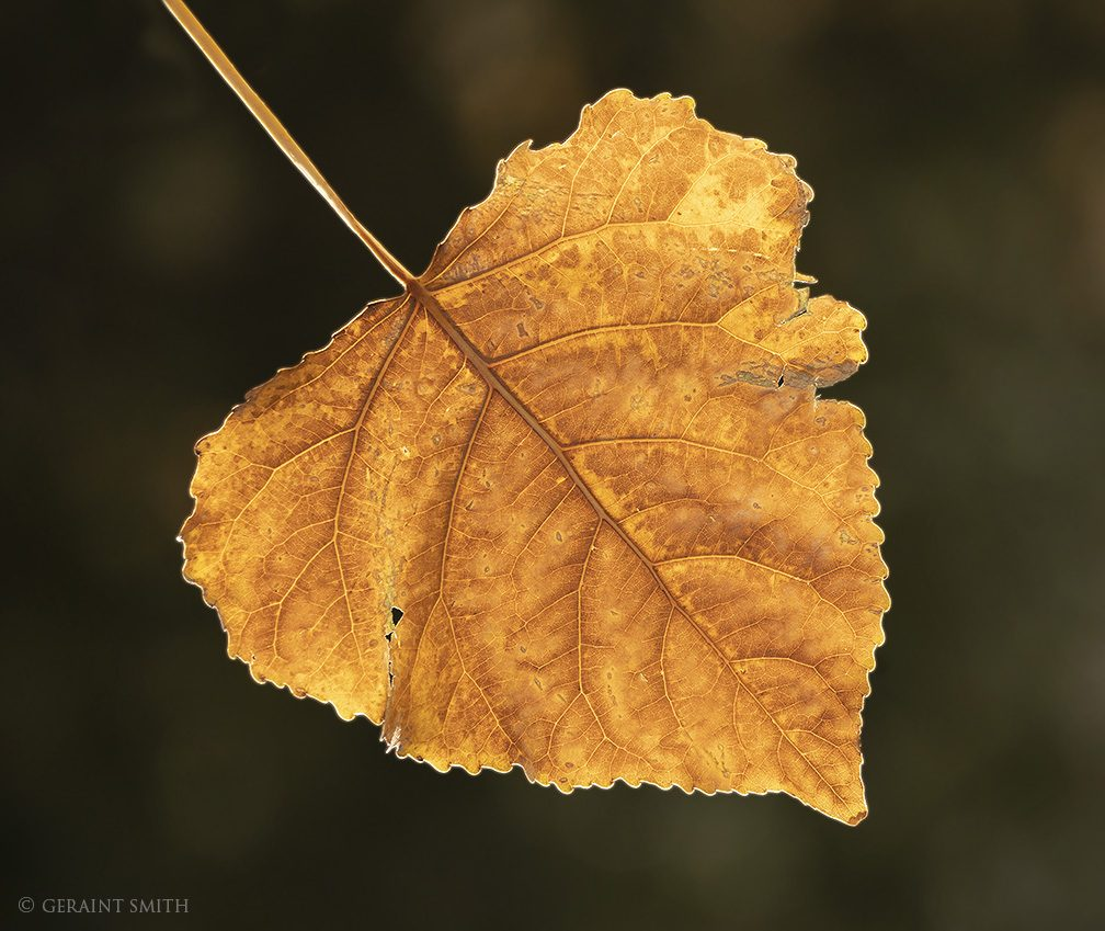 giant_cottonwood_leaf_full_8448-6617702