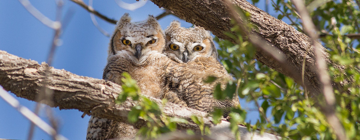 great horned owls juvenile 4978