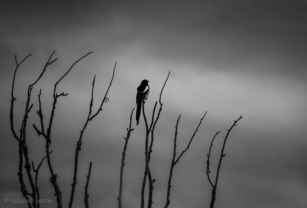 Magpie, morning, cottonwood tree, San Cristobal