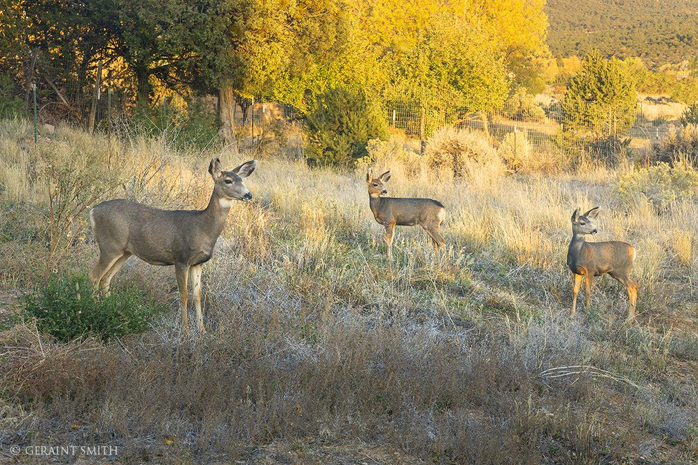 Mule Deer family visit the San Cristobal Valley.