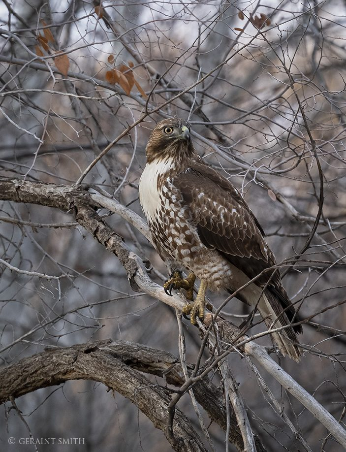 red_tailed_hawk_8517-6922294