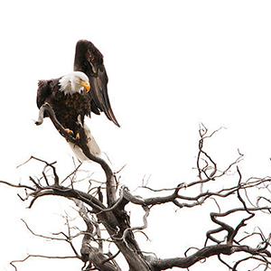 2010 bald eagle 4603