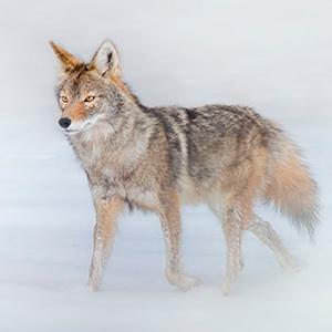 2013 coyote 4007