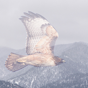 2016 red tailed hawk mtn SC 2288