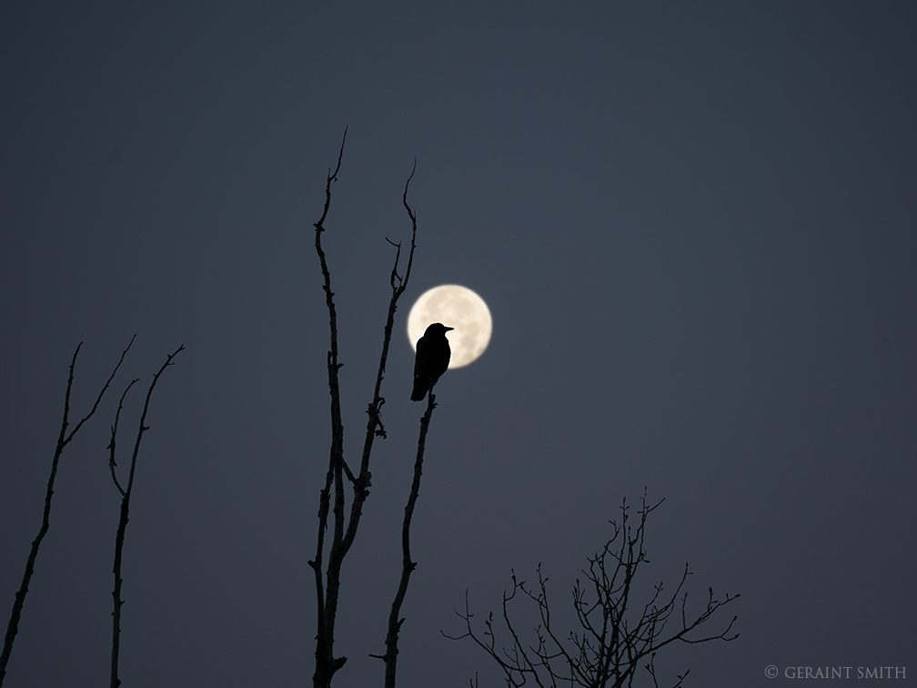 American Crow, Cottonwood Tree, Full Beaver Moon